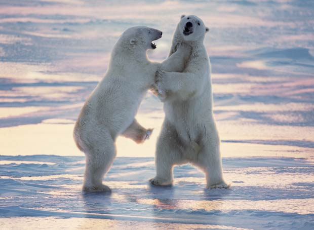 Ursos polares lutam em Cape Churchill, em Manitoba, no Canadá.  (Foto: Barcroft Media/Getty Images)