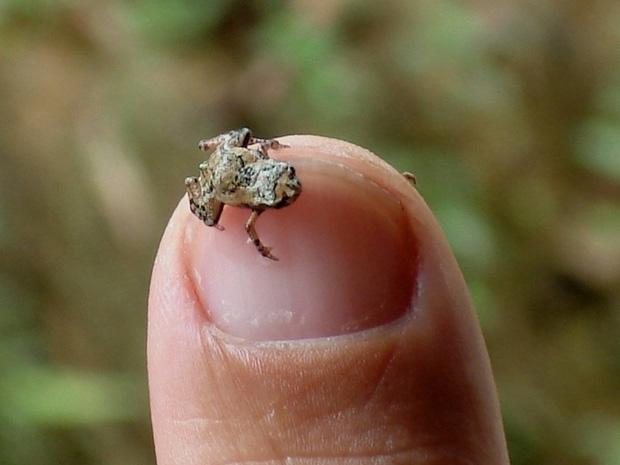 Resultado de imagem para menor espécie de antílope do mundo