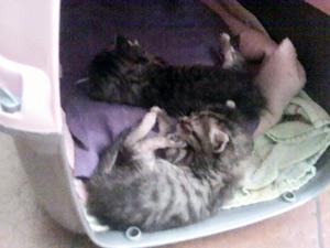 Filhotes de ninhada de gatos abandonada em Passo Fundo, RS, estão disponíveis para adoção (Foto: Vilmarise Franceschi/Divulgação/Prefeitura de Passo Fundo)