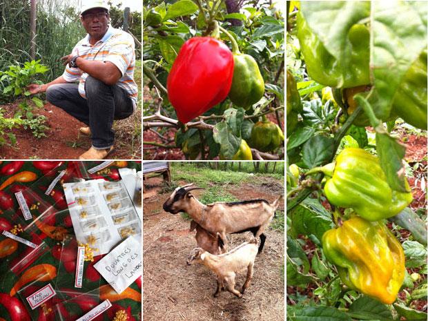 Sylvio Borges em sua plantação e exemplos de pimentas produzidas por ele e a mulher (no alto, a partir da esquerda) com adubo orgânico de cabras criadas pelo casal;  abaixo, à esquerda, acervo de sementes compradas pela internet de produtor espanhol (Foto: Káthia Mello / G1)