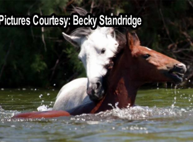 Garanhão branco ajuda outro cavalo a atravessar rio. (Foto: Reprodução)