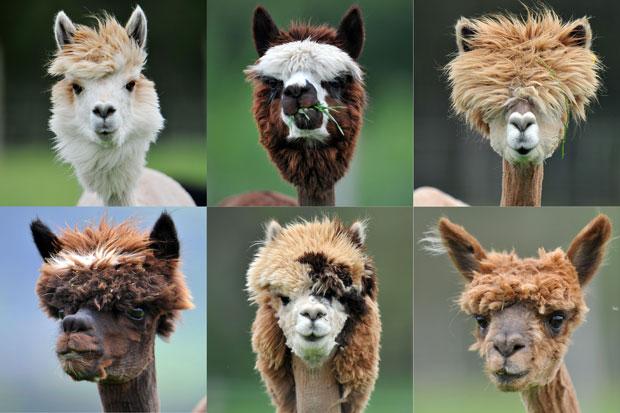 Uma grande fazenda de criação de alpacas na Áustria realizou neste domingo (29) a tosa anual de seus animais, dando penteados bastante criativos a vários deles. (Foto: Kerstin Joensson/AP)