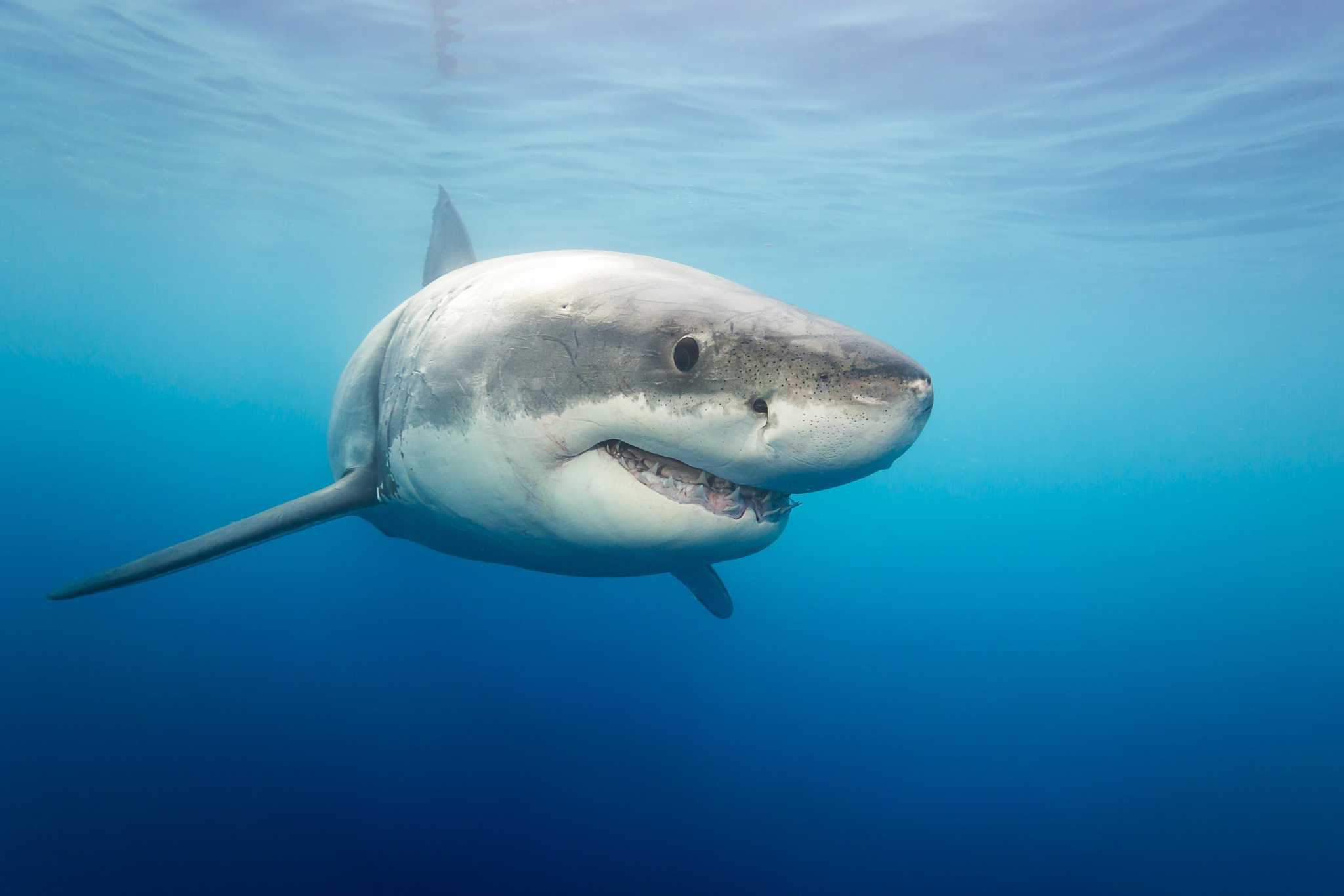 Great White Shark Tracked Off Greenwich Coast