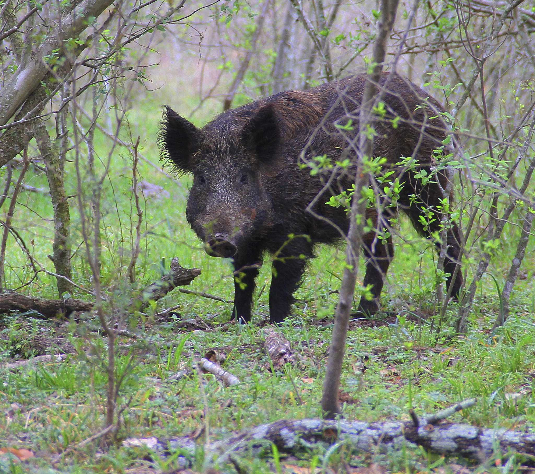 In The Woodlands A Senior Community Fights Back Against Feral Hogs Houstonchronicle Com