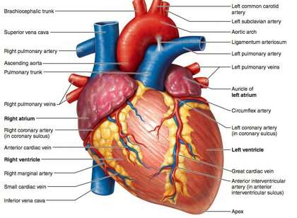 A diagram shows the chambers of the heart and the blood vessels that bring blood to the heart and out to the body.