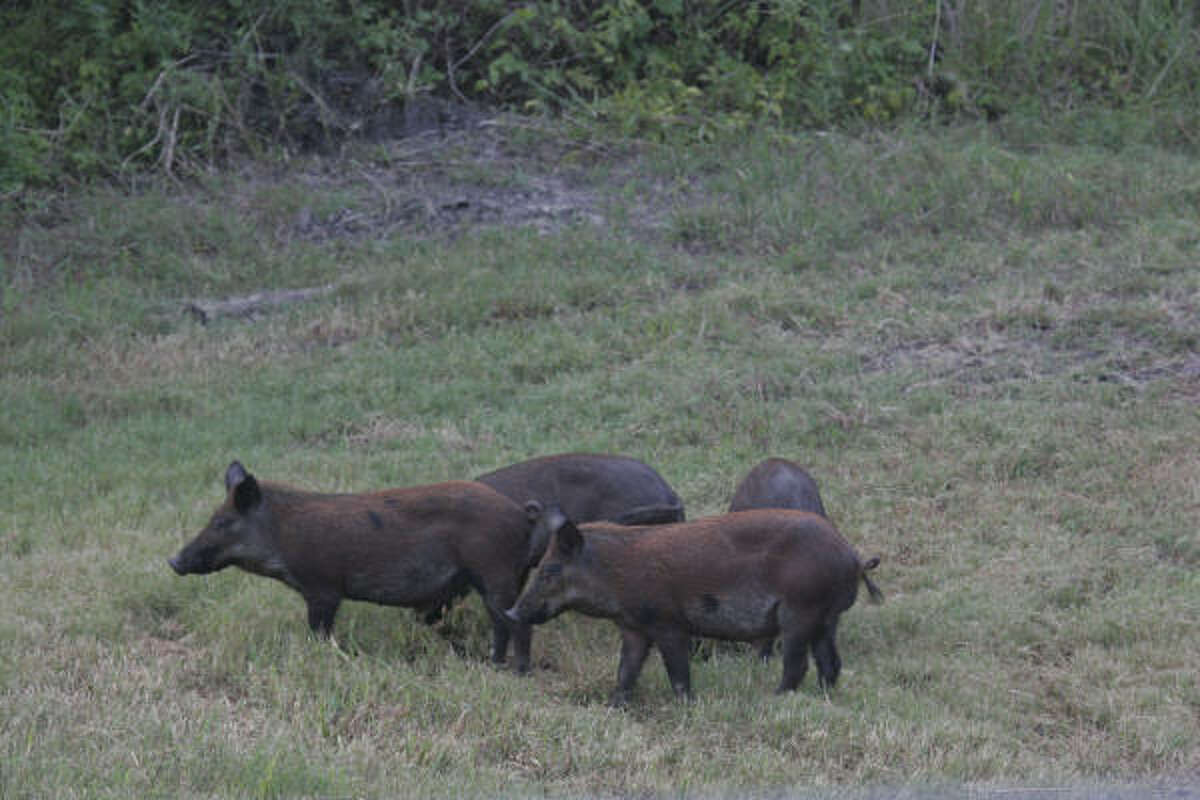Sheriff Feral Hogs To Blame For Woman S Rare Killing In Anahuac