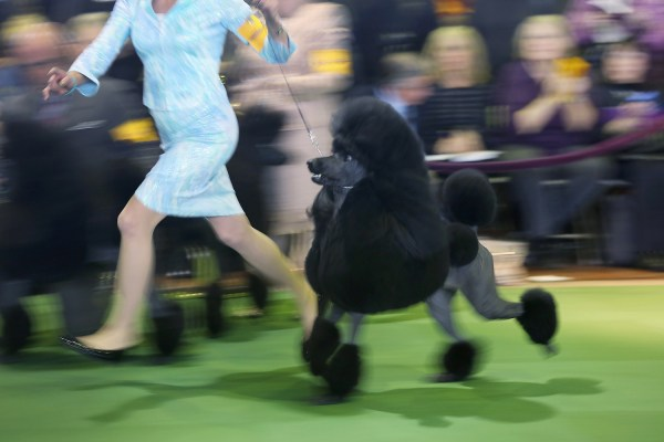 137th annual Westminster Kennel Club Dog Show - Houston ...