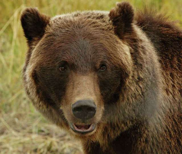 A Grizzly Bear Is Pictured In Its Enclosure At The Alaska Wildlife Conservation Center In Portage