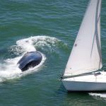 Anthony Rendon Whale barely dodges oncoming sailboat near Golden Gate ...
