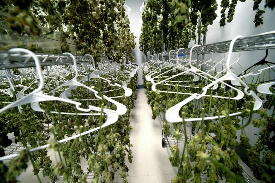 The drying room of the medical marijuana production facility, Advanced Grow Labs in West Haven, in 2015. The marijuana is for palliative use of pharmaceutical marijuana by qualifying patients. The use of medical marijuana in Connecticut was legalized in 2012. The Planning and Zoning Commission approved a plan for a medical marijuana dispensary, which still need state approval. Photo: Peter Hvizdak / Hearst Connecticut Media File Photo / ©2015 Peter Hvizdak