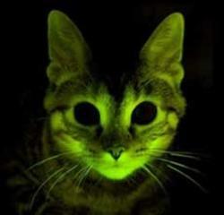 gato, transgénico, fluorescente, sida