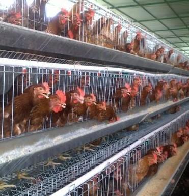 Las gallinas industriales viven una vida en pésimas condiciones.