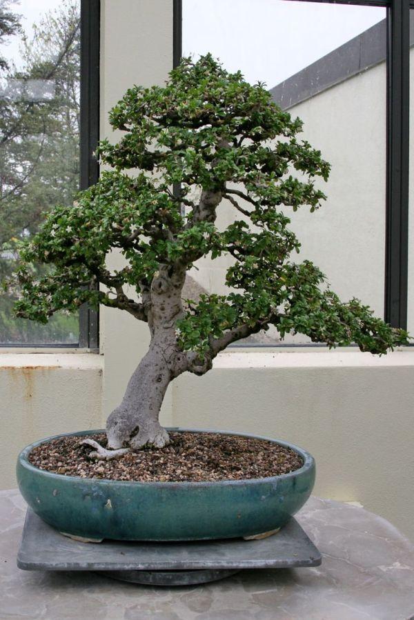 6 лучших растений для бонсай. Из чего вырастить бонсай ...