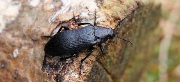 Вредители сливы жуки - короеды