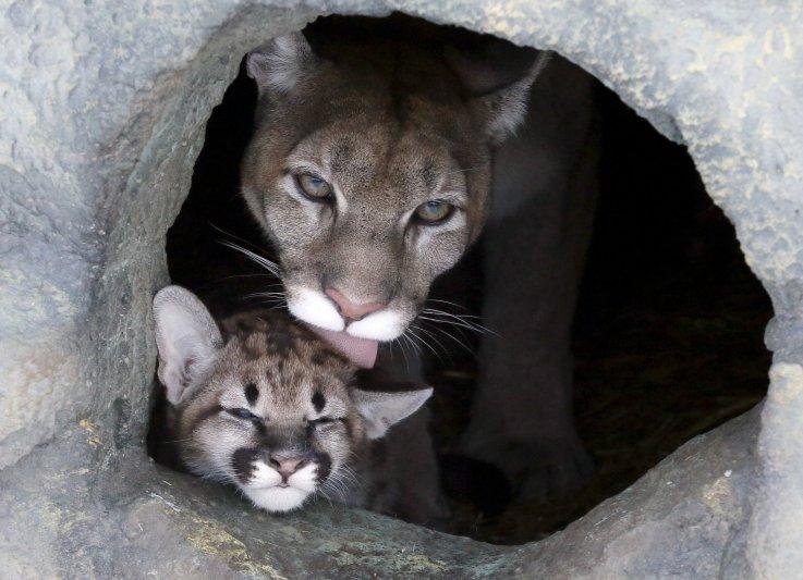 Puma barat