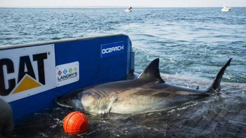 Katharine The Great White Shark Twitter Sensation Returns To Florida Waters The Weather Channel