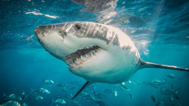 Study: Great white sharks may fear killer whales