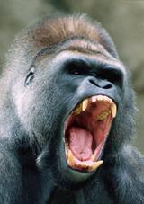 gorilla_art_160_20080512165518.jpg