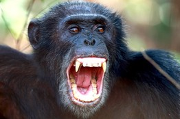 شيمبانزي يتصارعون : ذكر شيمبانزي شرقي يظهر أسنانه بحديقة جومبي بتنزانيا.