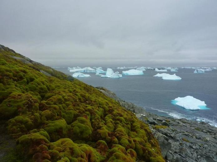 """Moss, as seen on this&nbsp;bank on Green Island in the Antarctic Peninsula,&nbsp;has been growing in the region at a dramatically faster rate in the past 50 years, according to a study&nbsp;<a href=""""http://www.cell.com/current-biology/fulltext/S0960-9822(17)30478-5"""" target=""""_blank"""">published</a> last week."""