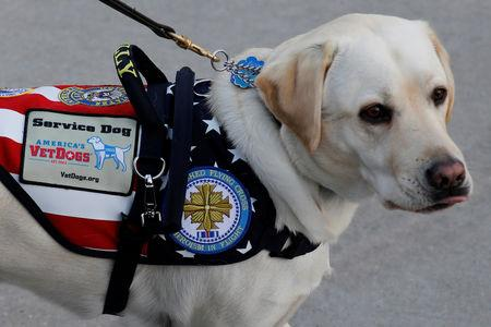 FILE PHOTO: Sully, the yellow Labrador retriever service dog of late former U.S. President George H.W. Bush, arrives at Joint Base Andrews in Maryland, U.S., December 3, 2018. REUTERS/Yuri Gripas