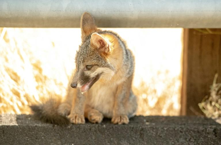 A coyote pup pants while taking cover under a side rail on the side of the road during 108-degree heat as the Carr fire rages on near Whiskeytown, California on July 27, 2018