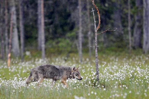 It's unlikely that humans sought out to tame wild wolves. Rather, the process would have started with the animals approaching hunter-gatherer camps in search of food, researchers said