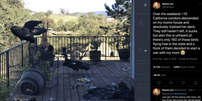 Flock of rare condors descends on California woman's home — and wreaks havoc on her deck