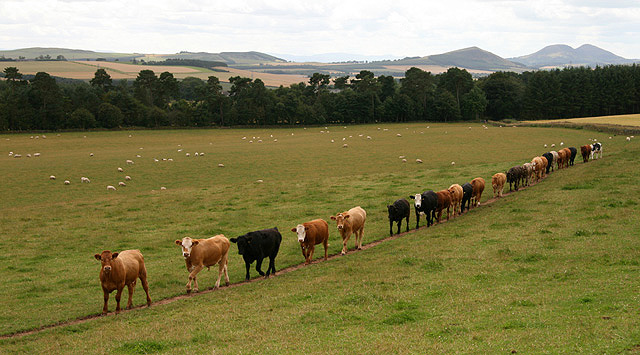 Bullocks following each other in line