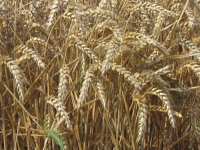 Ears of Wheat just before harvesting
