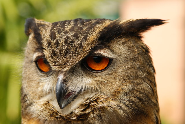 TQ1829 : European Eagle Owl, Huxley's, Horsham, Sussex (2)