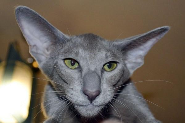 Ушастые кошки - ЯПлакалъ