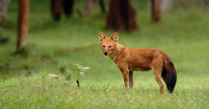 Endangered species: More research needed to tackle dhole decline ...