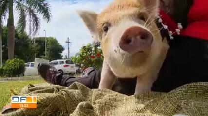 Conheça a porquinha Charlote, a ilustre mascote de uma família do Guará