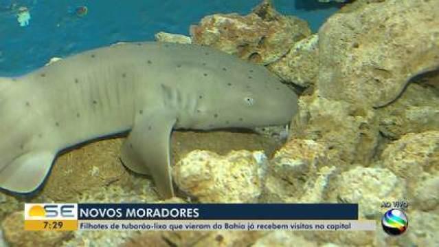 Filhotes de tubarão-lixa estão recebendo visitas no Tamar em Aracaju