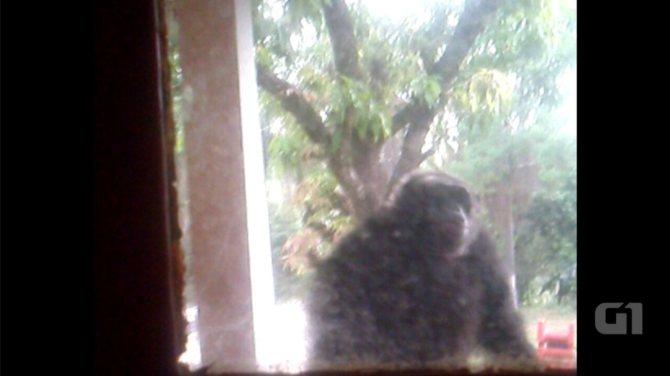 Chimpanzés fogem de santuário e invadem sítio em Sorocaba