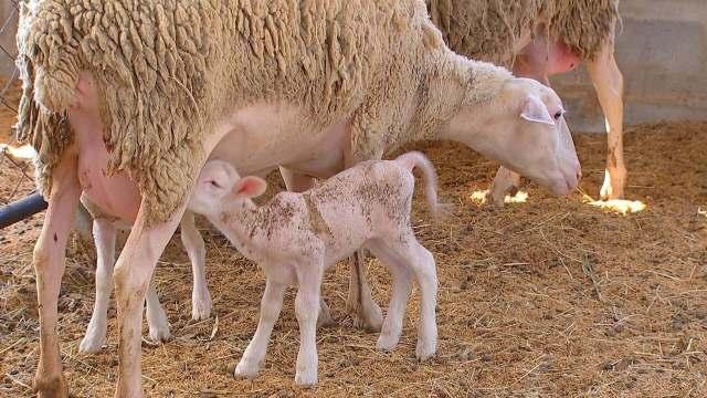 Ovelhas para produzir leite em Porto Feliz