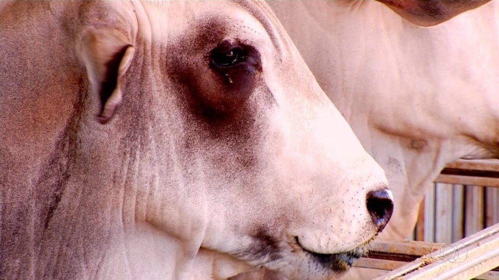 Confira alimentação mais indicada para gado, em Goiás
