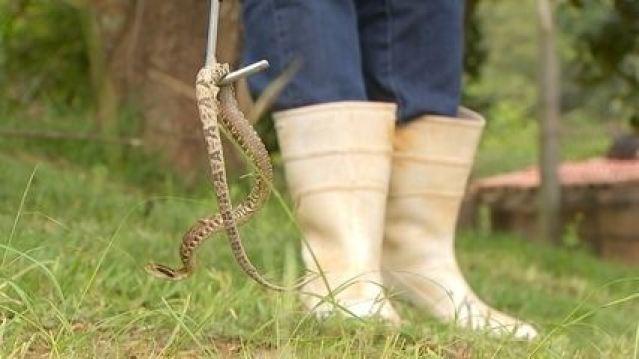 Ataques de cobras são comuns na zona rural
