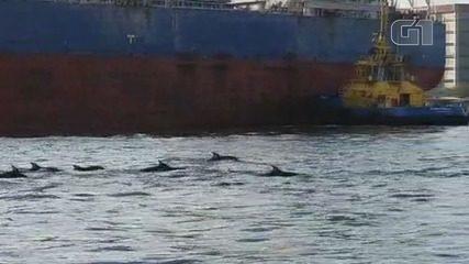 Vídeo flagra passagem de golfinhos pelo Porto de Santos, SP