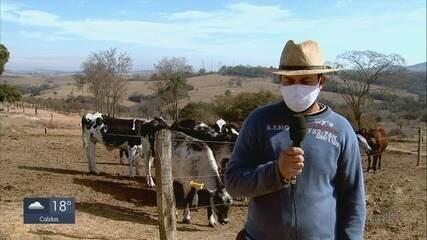 Geada diminui oferta de alimento para o gado e causa queda na produção do leite