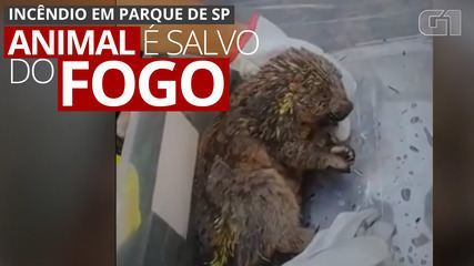 VIDEO: Animal is rescued from a fire area at Juquery State Park, in SP