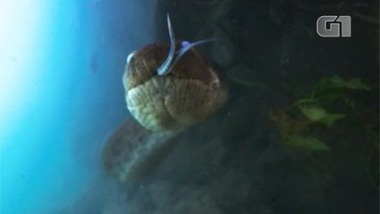 Sucuri 'shows tongue' when spotted by a documentary filmmaker in the crystal clear waters of Bonito