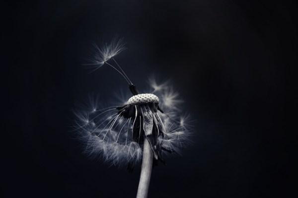 Картинки цветок Одуванчики Черный фон