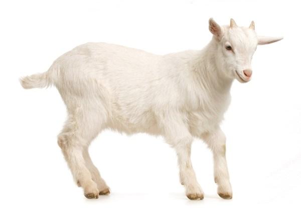 Картинка Коза козел Белый Животные