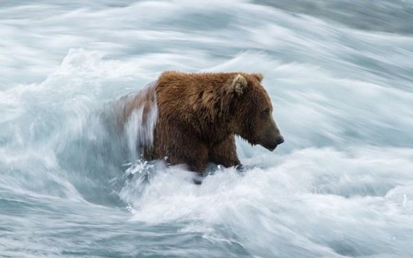 Фото Гризли медведь Волны река животное