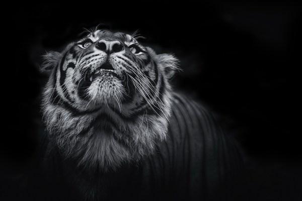 Обои для рабочего стола Тигры Большие кошки Усы Вибриссы Морда