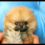 Tiny Teacup Pomeranian Puppies For Sale Teacup Pom Puppies Video Dailymotion