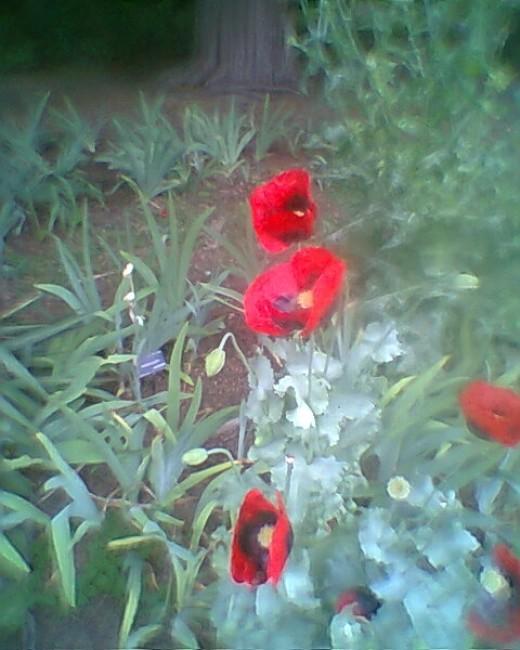 English poppies