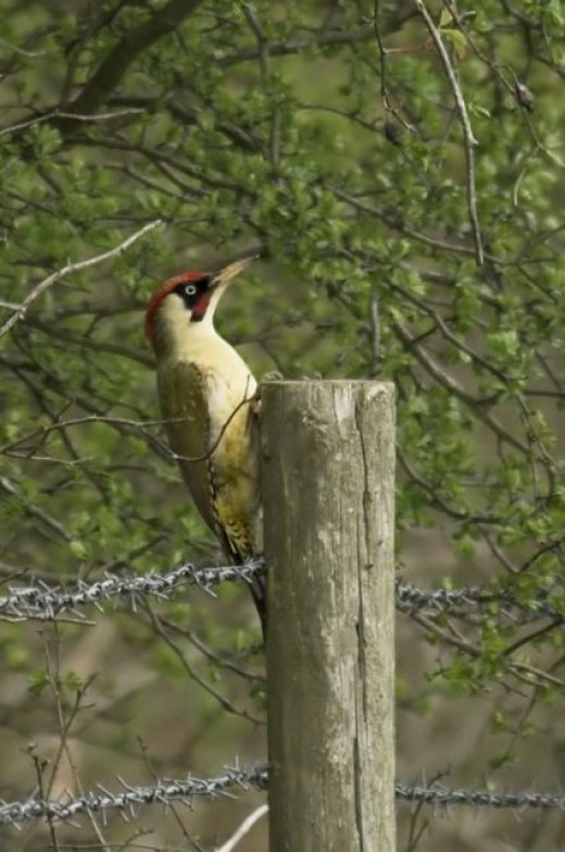 Green woodpecker in Oxfordshire UK